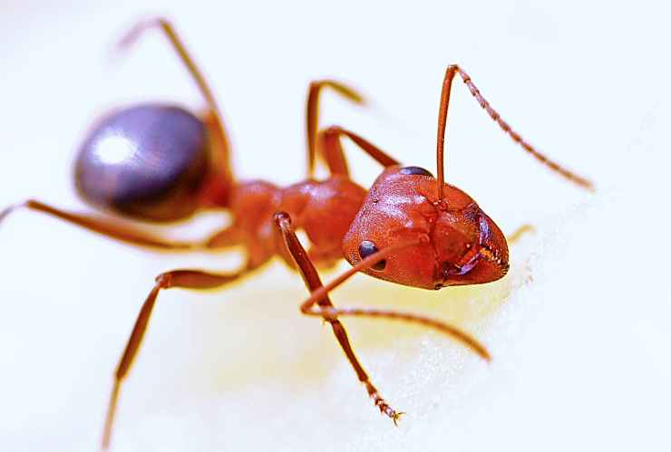 ant-macro-insect-red-40825.jpeg